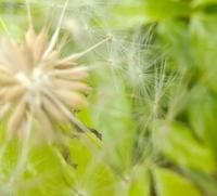 たんぽぽの庭… - 侘助つれづれ