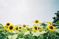 向日葵(写ルンですver.) - photomo