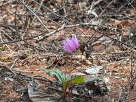 5月ですので例年通りカタクリの花も咲き始めましたが・・ - 十勝・中札内村「森の中の日記」~café&宿カンタベリー~