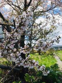 桜とべこ餅♪ - 笑う門には福来たる