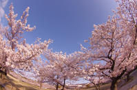 桜のお城散策(2020/4/5)其の⑤ - 南の気ままな写真日記