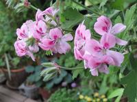 センテッドゼラニウム「スイートミモザ」の花 - あるまじろの庭