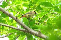 2020-082 まだいたヒレンジャク - 近隣の野鳥を探して2