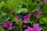 ミヤマカラスアゲハ♂他5月上旬 - 超蝶