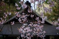 2020桜咲く京都 大豊神社の春 - 花景色-K.W.C. PhotoBlog