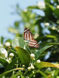 コミスジの交尾とクロコノマの産卵行動 - 蝶超天国