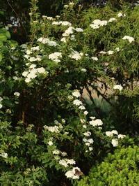 家の花 ~コデマリ~ (2020/5/3撮影) - toshiさんのお気楽ブログ