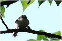 エナガ幼鳥 - 今日のいちまい