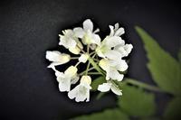 コンロンソウが咲いている! - 里山の四季