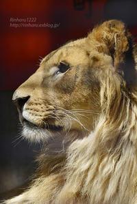 2020.4.19 宇都宮動物園☆ライオンのゴウくん【Lion】 - 青空に浮かぶ月を眺めながら