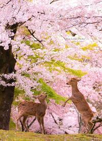 鹿活~桜Ver.2020~ - Eye Love Photo*
