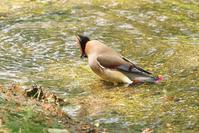 2020-083 ヒレンジャクの水浴び - 近隣の野鳥を探して2