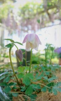 白とピンクのスズランと、可愛いピンクのオダマキ&クレマチスの開花 - どんぐりの木の下で……