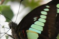 エサキ型・・・アオスジアゲハ異常型 - 続・蝶と自然の物語