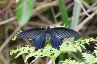 クロアゲハ・・・自宅に - 続・蝶と自然の物語