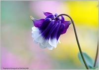 庭の花-11 - 野鳥の素顔 <野鳥と日々の出来事>