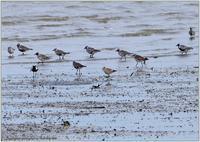 干潟のダイゼン - 野鳥の素顔 <野鳥と日々の出来事>