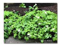 冷たい雨 - 雪割草 - Primula modesta -