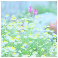 カミツレの花 。°* - かめらと一緒*