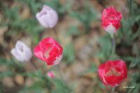 red tulip - マトリョーシカ