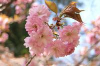 ふわふわフリルの八重桜 - 風の彩り-2