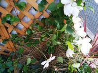 白雪姫の受難 - 小庭の園芸日記