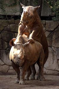 クロサイのカップル - 動物園放浪記