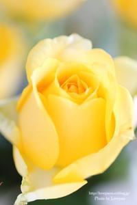 Rose - Lovepan