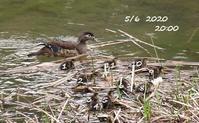 北米産オシドリ wood duckの雛ちゃん誕生 - NYからこんにちは