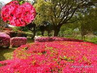 山田池公園のツツジの開花 - デジカメ散歩悠々
