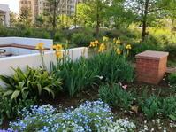 ジャーマンアイリスが咲き始めました2020年5月上旬のマンション花壇 - ニッキーののんびり気まま暮らし