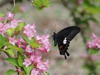 モンキアゲハとタニウツギが最盛期 - 蝶超天国
