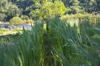 スペルト小麦177日 - 良え畝のブログ