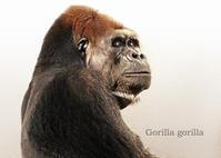 ゴリラ - 動物園の住人たち写真展(はなけもの写眞館)