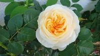 続々とバラが咲いてます - Rose & Mary
