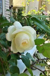 「2020年春私のバラ」⑥ -  日本ローズライフコーディネーター協会