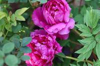 牡丹の花*クレマチスの誘引 - my small garden~sugar plum~