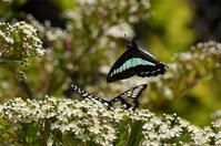アオシジアゲハ&ミカドアゲハ - 続・蝶と自然の物語