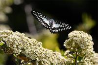 ミカドアゲハ・・・ピラカンサスで吸蜜 - 続・蝶と自然の物語