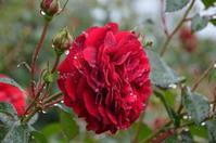 2020-5-3 雨の日の薔薇 - 思い立ったが吉日