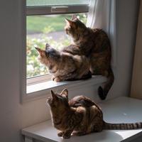 麦ニャンズ+メンちゃん - 猫と夕焼け