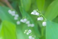 庭に咲いたスズラン - やきつべふぉと