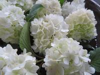 「大手鞠」咲きました。 - Tumugitesigoto4419's Blog