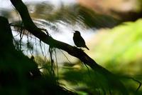ミソサザイ - 野鳥鳴く自然風景