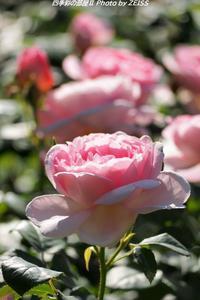 四季の香ローズガーデンに咲くバラの花(1) - 四季彩の部屋Ⅱ