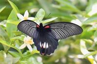 ナガサキアゲハ・・・ミカンの花に - 続・蝶と自然の物語