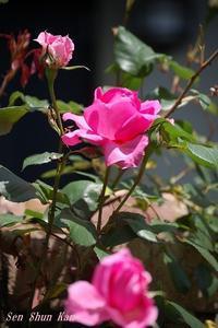 薔薇の花2020年5月9日 - LLC徒然