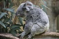 多摩動物園のコアラのニーナ♀ - 山とPANDA