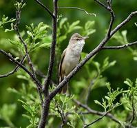 オオヨシキリ - 打出頑爺の鳥探し