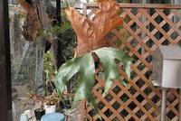 Platycerium stemaria - PlantsCade -2nd effort